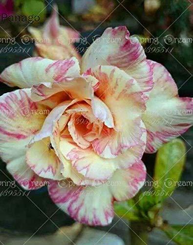 Shopmeeko 2pcs Fiore Rosa del Deserto Vero Adenium obesum Bonsai Fiore pianta Piante grasse perenni Piante in Vaso al Coperto per Il Giardino di casa: 14
