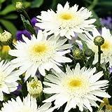 Sommermargerite 'Wirral Supreme' (Leucanthemum x superbum) - 1 Pflanze