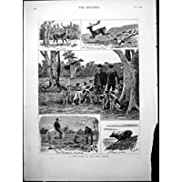 La Stampa Antica del Pacchetto dei Tufters Suscitato Nuova Foresta di Caccia dei Cervi Perseguita il Silvicoltore 1880 - Caccia Dei Cervi Decor