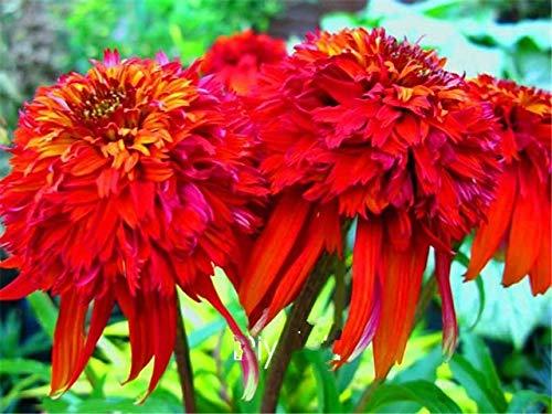 Green Seeds Co. 100 pièces/sac Promo!plantes d'échinacée - Chaud Papaya - Résistant aux cerfs Bonsaï Plante vivace Diy Accueil Jardin Plantes: Rouge