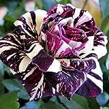 20 herrliche Rose Samen der Gartenblumen, seltene Farbe, Echt Samen, Ideal DIY 20 Black Dragon Rose