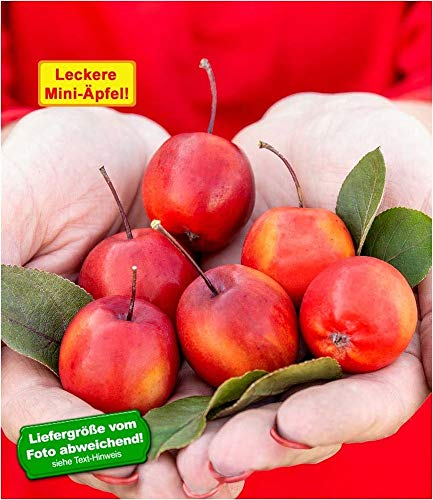 "BALDUR-Garten Mini-Apfel\""Appletini®\"", 1 Pflanze Apfelbaum Miniapfel Rarität"
