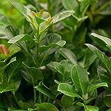 Kölle Kirschlorbeer 'Etna'®, 40/60 cm, 3 Pflanzen im Set, je im 4,6 l Topf
