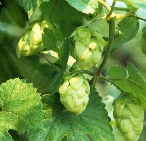 herb-seeds-hops-50-seeds