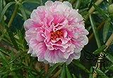 20 pezzi molto bello Giappone acero giardino di foglia di semi di fiori di vendita calda