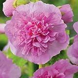 Hortiflor Bureau -Rose Trémière Double Rose - Alcea Rosea (Lot De 3 Pieds)