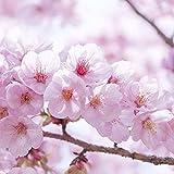 Rosepoem Kirschbaum Samen 20 Stück Japanische Kirschblütenbaumsamen dekorative Kirschbaumsamen für Garten
