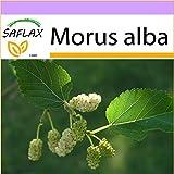 SAFLAX - Moro bianco - 200 semi - Morus alba