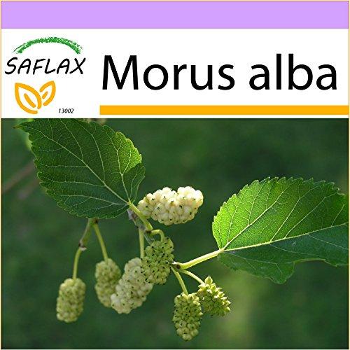 Tropische Beeren (SAFLAX - Weißer Maulbeerbaum - 200 Samen - Morus alba)