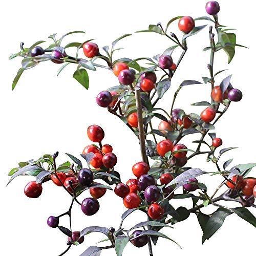 Numex Centennial 10 Samen *Mini-Chili* mit sehr guten Ertrag -Ähnlich der Twilight mit violetten Laub-