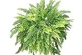 Zimmerpflanze - Nephrolepsis - Boston-Farn - Buschige Zimmerpflanze, ca. 35cm hoch