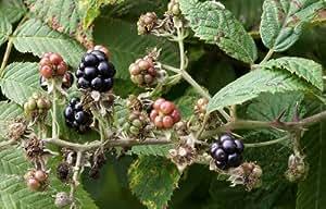 Rubus fruticosus/Echte Brombeere