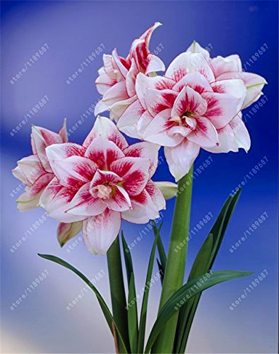 Galleria fotografica Vero Amaryllis lampadine, pianta orto Hippeastrum lampadine bonsai fiore bulbi Amarilis Rizomas bulbos Barbados Lily vaso - 1 lampadina 12