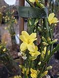 Echter Winter-Jasmin 40-60 cm Strauch für Sonne-Halbschatten Zierstrauch gelb blühend Balkonpflanze winterhart 1 Pflanze im Topf
