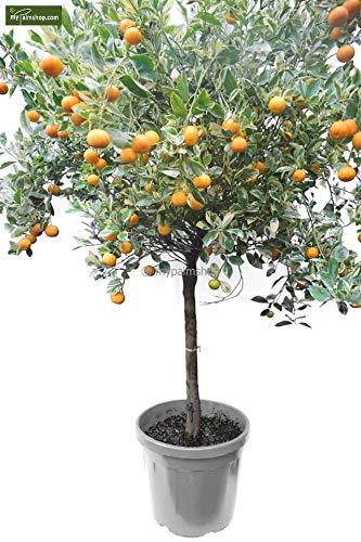 Citrus mitis VARIEGATA - Calamondinorange - Panaschierte Zwergorange - verschiedene Größen (160-190cm Stamm 60-70cm - Topf Ø 45cm)