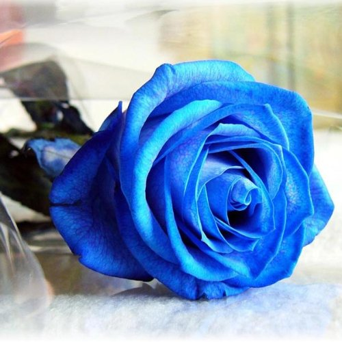 bluelover-50-piezas-azul-rosa-semillas-bricolaje-hogar-jardin-dec