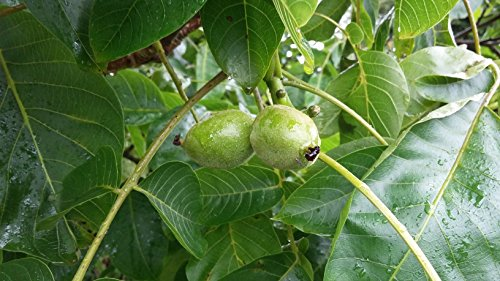 common-walnut-tree-juglans-regia-tasty-edible-nuts-hardy-edible-ornamental-tree-wildlife-plant-fresh