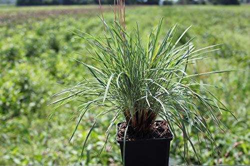 Koeleria glauca - 3 Pflanzen im 0,5 lt. Vierecktopf