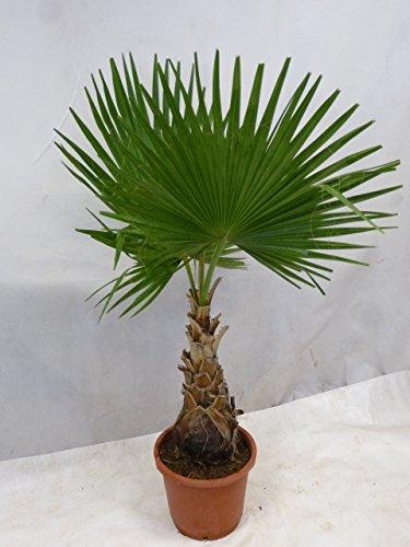 [Palmenlager] - Washingtonia robusta 170/200 cm - Stamm 50 cm - Petticoat Palme
