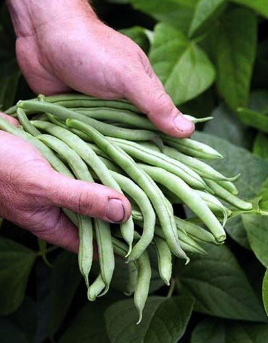 blue-lake-bush-bean-1-lb-bulk-seed-1500-seeds-by-hirts-seed-bean