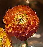 200 PCS semi di fiori rouge ranuncolo per gli impianti di casa giardino persiano ranuncolo fiore