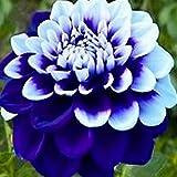 Qulista Samenhaus - 20pcs Selten Halbkaktusförmige Dahlien Mischung Blumensamen mehrjährig winterhart für Beete und Blumenschalen