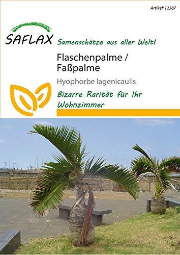 Exotische Samen - Flaschenpalme / Faßpalme von Saflax
