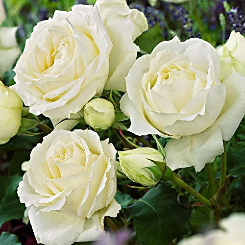 Rosa floribunda'Kristall' | Fleurs blanches | Rosiers arbuste | Hauteur 22cm