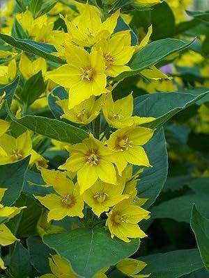 Goldgilbweiderich (Lysimachia vulgaris) Teichpflanze Teichpflanzen Teich von ZAC Wagner - Du und dein Garten