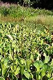 2er-Set - Alisma parviflora - Rundblättriger- Breitblättriger Froschlöffel, weiß - Wasserpflanzen Wolff