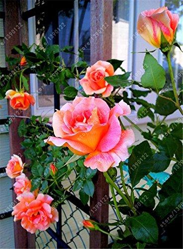200 stücke Samen Rosen in pink gelb