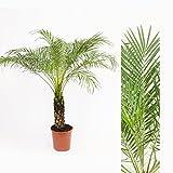 Inter Flower - 1x Zwergdattelpalme (Phoenix roebelenii) ca. 145cm +/- Stammhöhe ca 35cm +/- schöne Zierpflanze für Haus/Wohnung oder Büro / Palmengewächse (Arecaceae) / tropisch / relativ kälteunempfindlich / einstämmig / elegante & schmale Fiederwedel / anpassungsfähig & pflegeleicht / Zimmerpflanze / Indoor / Herkunft: Südost-Asien daher hoher Lichtbedarf / imposant