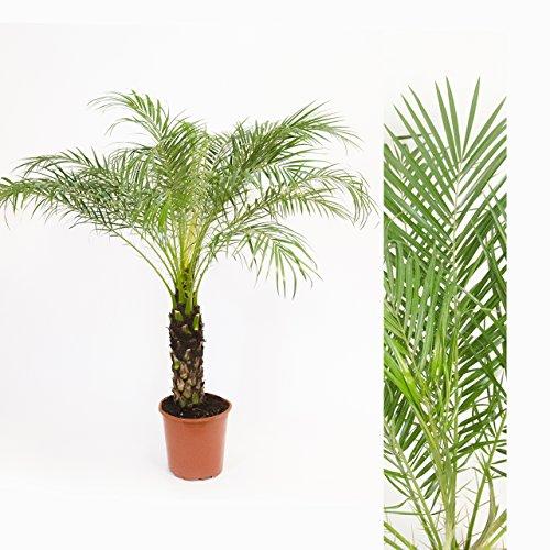 inter-flower-1x-zwergdattelpalme-phoenix-roebelenii-ca-145cm-stammhohe-ca-35cm-schone-zierpflanze-fu