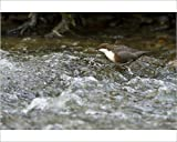Photographic Print of Dipper with food in bill wading in river Spring