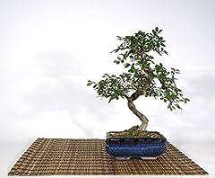Idea Regalo - Bonsai di Olmo Cinese vaso cm. 15
