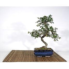 Bonsai di Olmo Cinese vaso cm. 15