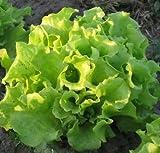 Schnittsalat - Salat Simpson - Salate - 500 Samen