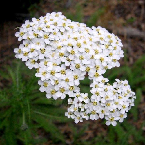 Schafgarbe 300 Samem (Achillea millefolium)
