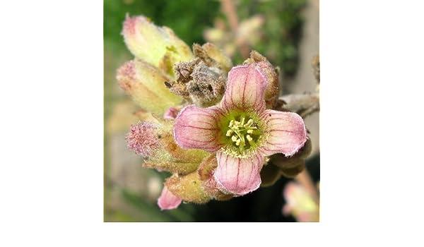 Kalanchoe beharensis elephant/'s ear rare succulent exotic plant seed 50 SEEDS