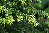 Portal Cool Tsuga Diversifolia Nord japanische...
