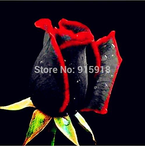 Graines de fleurs Bonsai 200 Pcs Rare Étonnamment Belle bord rouge Black rose graines Maison & Jardin