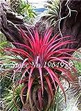 Pinkdose 100 Teile/beutel Bunte Schwingel Gras Bonsai Indoor Garten Festuca Mehrjährige Winterharte Zierpflanzen Einfach Wachsen Bonsai Sementes: 11