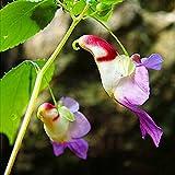 WuWxiuzhzhuo Samen für Papageienblume