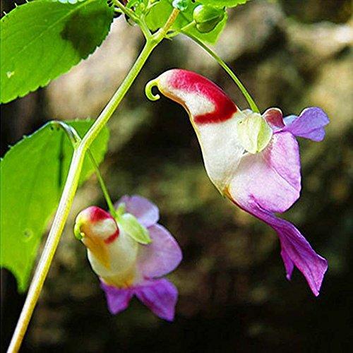 WuWxiuzhzhuo Lot DE 20 Graines de Fleur d'orchidée Rare Perroquet, DE Graines de Jardin Balcon bonsaï Décor