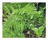 Davallia trichomanoides - Eichhörnchenfuß - 100 Samen