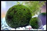 Luffy Marimo Mooskugeln für Aquarium, 1 Stück