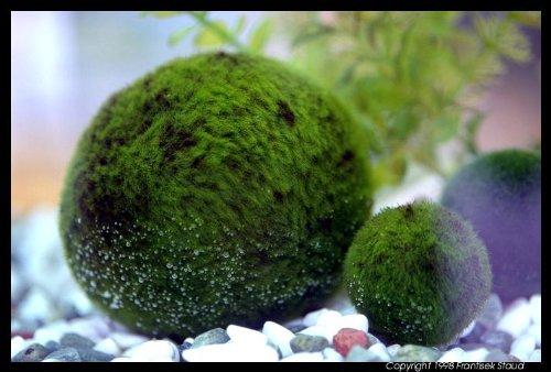 Marimo-Palline di muschio, una soffice palline Verde Java Moss acquario X 5 palline