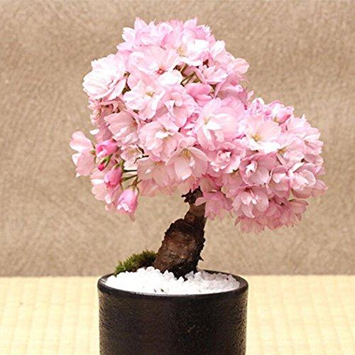 Ncient 20/50 Unids Semillas Cerezo Japonés Semillas Flores Raras de Plantas Bonsai para Maceta Jardín Balcon Interior y Exteriores