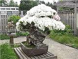 SANHOC 10pcs Rare Cherry Blossoms Bonsai Ciliegio Sakura Fiori Bonsai Interna Piante da Fiore in Vaso Cerasus Fiori della pianta: 2