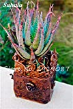 Neu! 20 PC Bunte Kaktus Rebutia Variety Mix Exotic Aloe Seed Cacti Rare Cactus Büro Edible Beauty Saftige Bonsai Pflanze 15